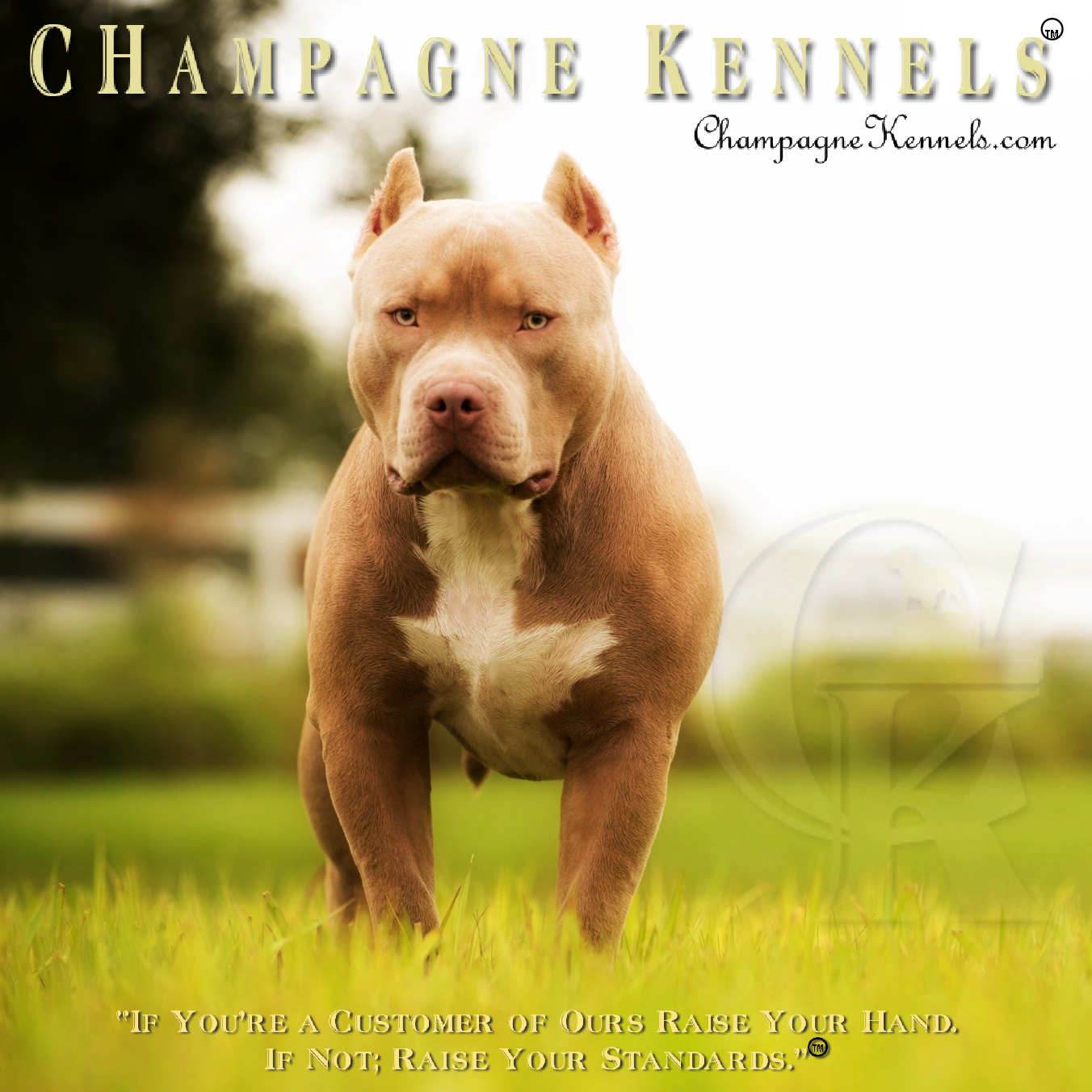 Top Dog Bullies CHampagne Legend- aka Daddy |