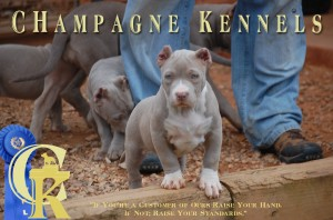 Champagne Kennels Top Dog Bullies CHampagne Legacy American Bully Pitbull Puppy