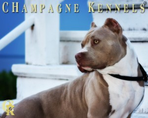 top dog bullies champagne legacy american bully american pit bull terrier apbt puppy puppies