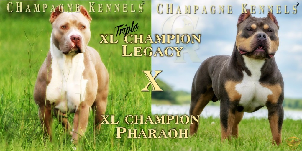 champage purple tri breeding champagne kennels pupppies for sale tri puppies xl tri puppies