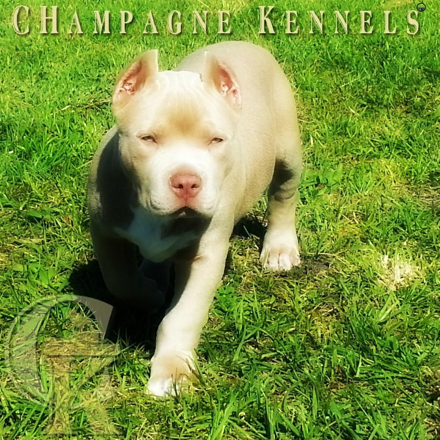 Top Dog Bullies Champagne Legend aka daddy 12 weeks