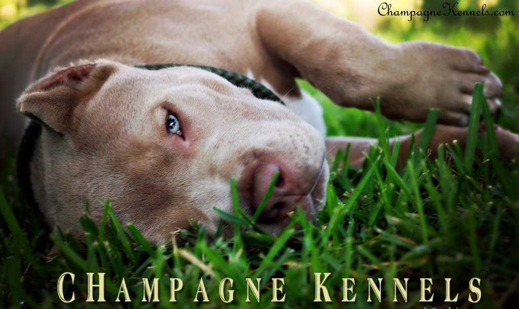 CHampagne Kennels Top Dog Bullies Champagne Legend aka Daddy 16 weeks